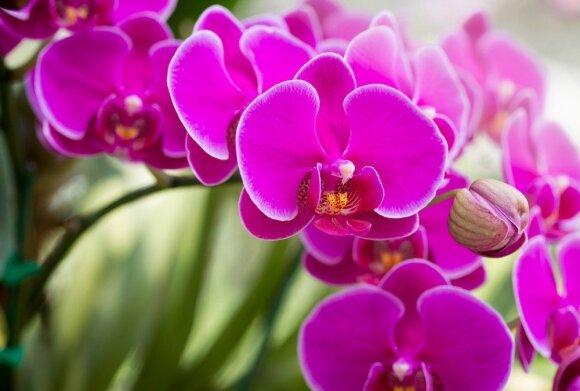 Dažniausios klaidos auginant orchidėjas