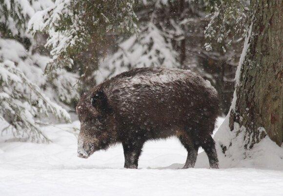 Lietuvoje užfiksuotas pirmasis kiaulių maro atvejis