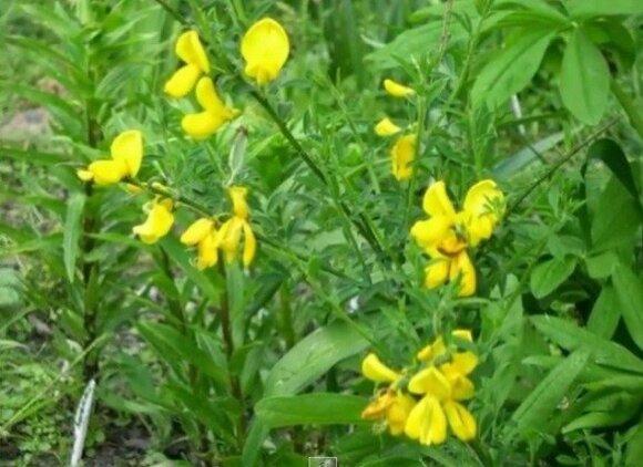 Šluotinis sausakrūmis (Sarothamnus scoparius)