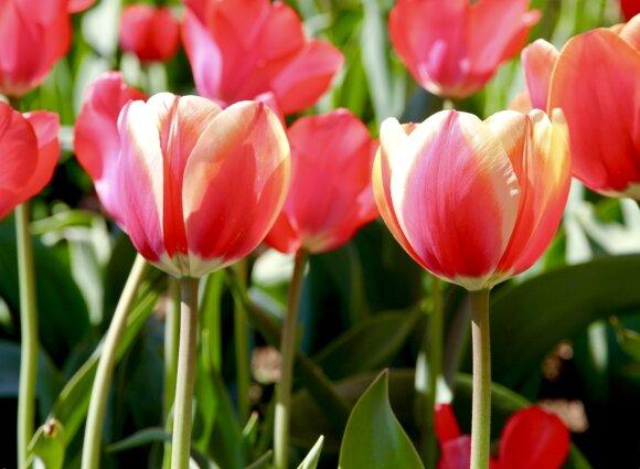 Tulpės Genovaitė