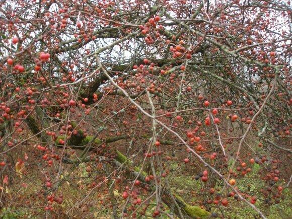 Uoginė obelis būna puošni ir rudenį be lapų, kai išryškėja raudoni obuolėliai.