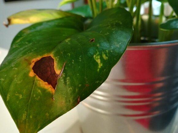 Kaip laimėti kovą su tipiniais kambarinių augalų kenkėjais