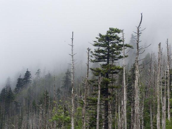 Medžiai patys atsakingi už rugščius lietus?