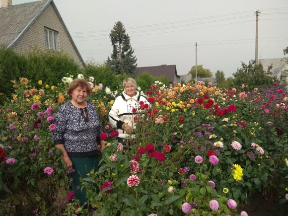 Įspūdingas kiemas Kėdainių rajone: puošia 746 jurginų krūmai