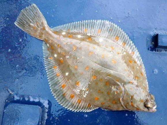 Šviežiai sugauta jūrinė plekšnė (Pleuronectes platessa) / Holas Latham nuotr.