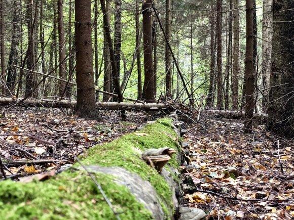 miškas, kertinė buveinė, medis
