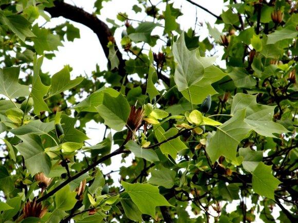 В ботаническом саду цветут лириодендроны
