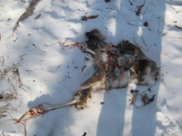 Vėliau miške aptiktos sudraskyto žvėries liekanos