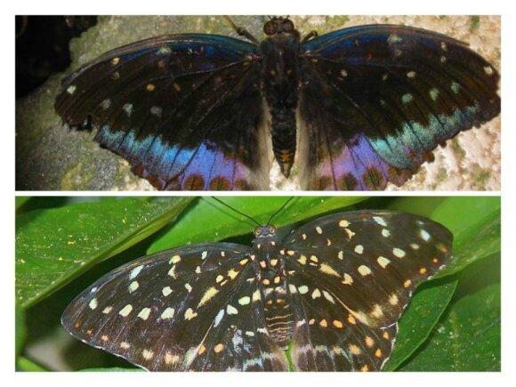 Taip atrodo vyriškos (viršuje) ir moteriškos (apačioje) lyties drugelis. Savanoriui pavyko rasti  drugelį, kurio pusė buvo tokio, ir pusė kitokio