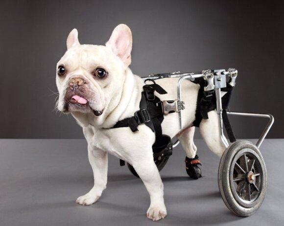 Prancūzų buldogas Little Man Rue yra aktyvus nepaisant paralyžuotų kojų