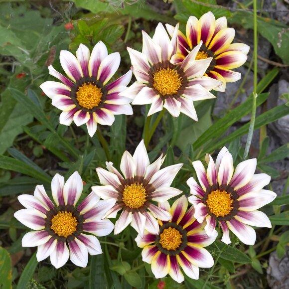 Nesodinkite bet ko: štai 10 gėlių, kurios nepertraukiamai žydės visą vasarą iki pat šalnų