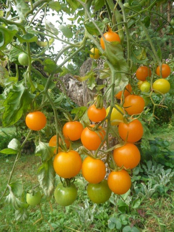 Pomidorai vazonuose