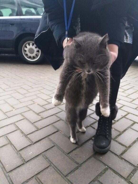 Priklydo katinas: ieško jo pasigedusių šeimininkų