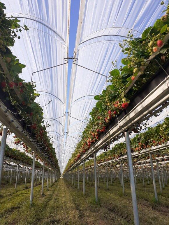 Stebuklas vidury rudens: lietuviškame ūkyje vis dar auga šviežios braškės
