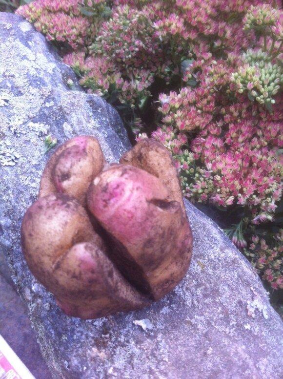 """Bulviakasio atradimas - """"besišypsančios"""" bulvės"""