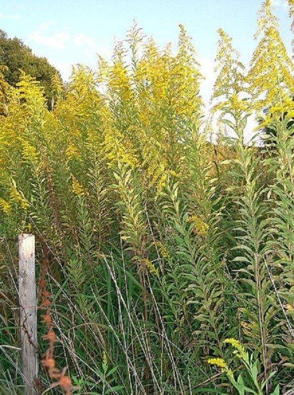 Aukštoji rykštenė (Solidago altissima)