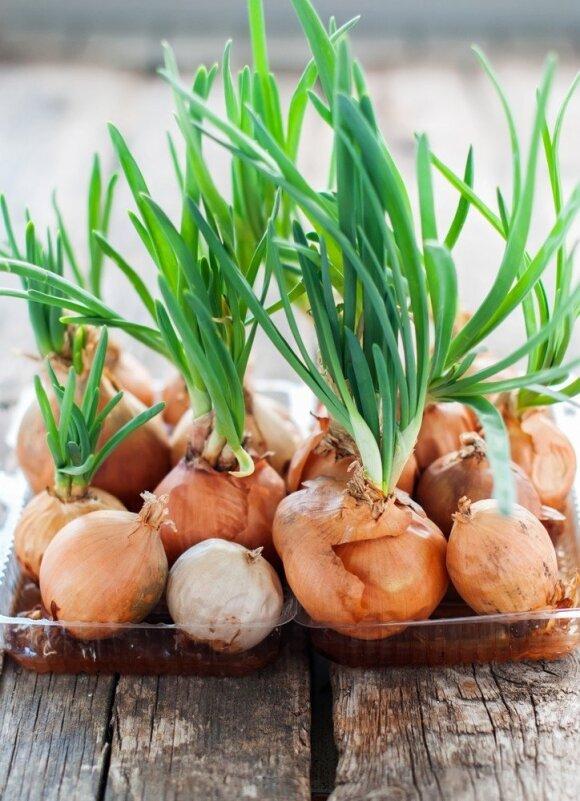 Kaip gelbėti svogūnus nuo svogūninių muselių ir ligų – apie šiuos būdus galėjote ir nežinoti