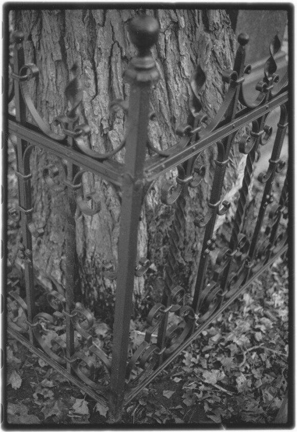 Įkalintas medis, Bernardinų kapinės, 2013 04 / D. Labeckio nuotr.