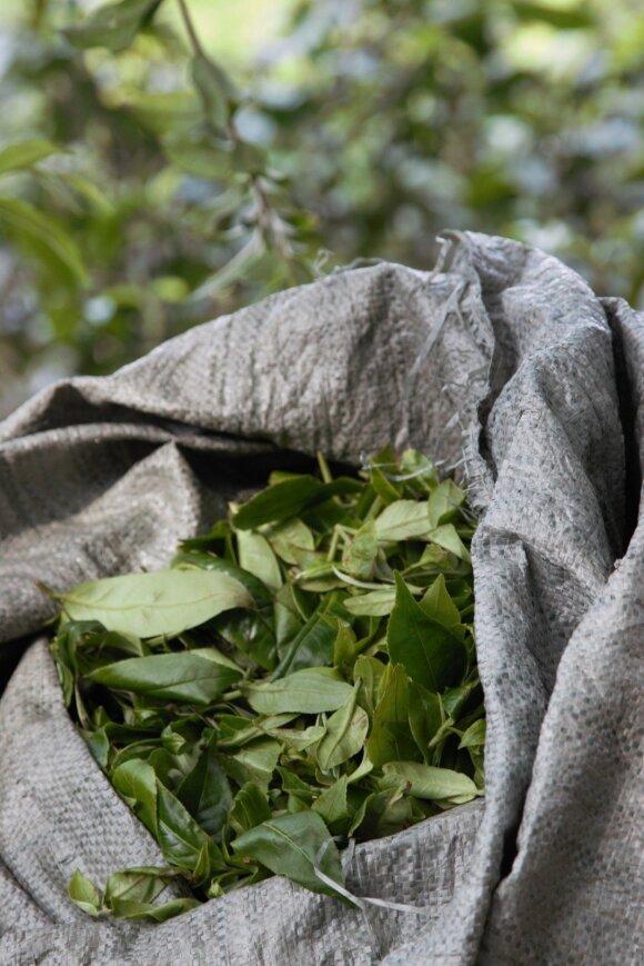 Vis daugiau žmonių pamėgsta unikalią arbatą, valančią organizmą