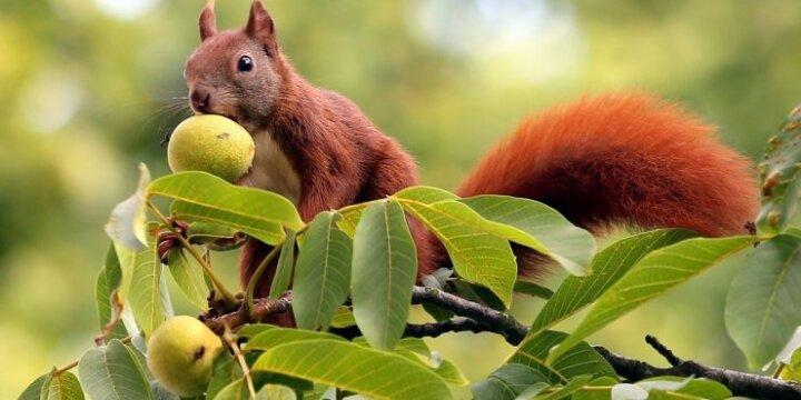 Graikinių riešutų medžio vaisius itin mėgsta voverės