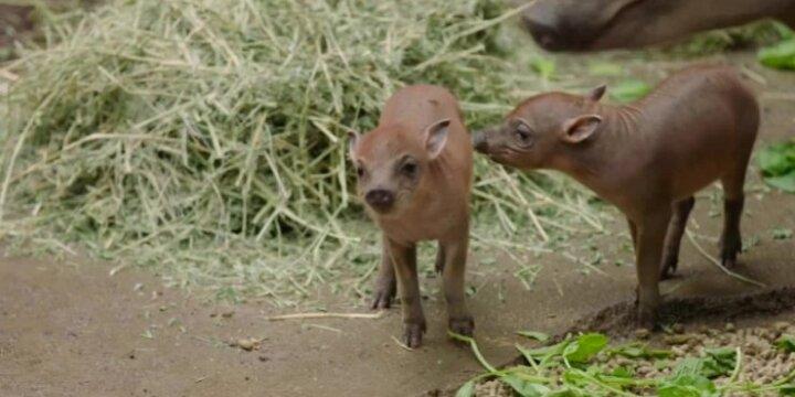 Sulavesio babirusų San Diego zoologijos sode pristatymas