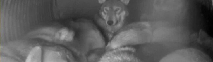 Nuo atšiauraus oro nykstančios rūšies vilkai slėpėsi draustinio guolyje