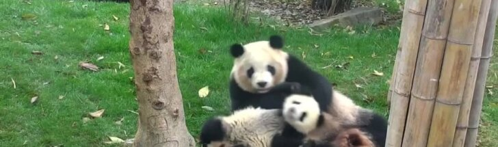"""""""Slaptas pandų gyvenimas"""" (XV): kai žaidimams trūksta gero ūpo"""