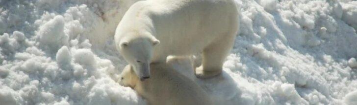 Laplandijos baltiesiems lokiams atvežė sniego
