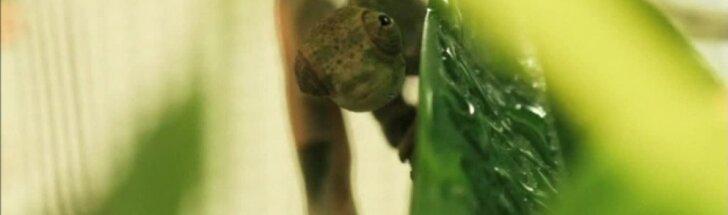 Česterio zoologijos sode pasaulį išvydo reti chameleonai