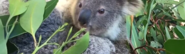 Sidnėjaus zoologijos sode džiūgaujama – pasirodė koalos jauniklis