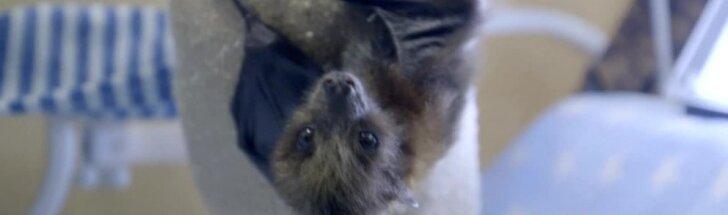 San Diego zoologijos sode po Cezario pjūvio gimė šikšnosparnis