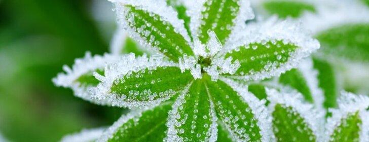 5 populiarūs mitai apie augalų dengimą žiemai