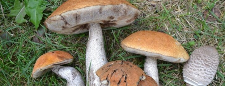 Dažnai randami miške, bet retai valgomi grybai (+RECEPTAI)