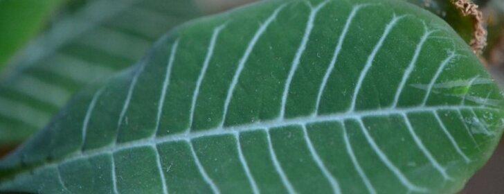 Karpažolė – norintiems nereiklaus kambarinio augalo