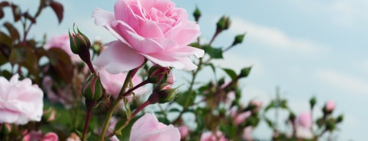 Pavasariniai darbai rožyne – nudengimas bei genėjimas