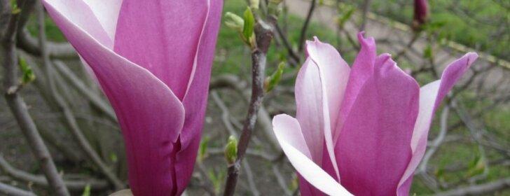 Ką būtina žinoti apie pavasario karalienes