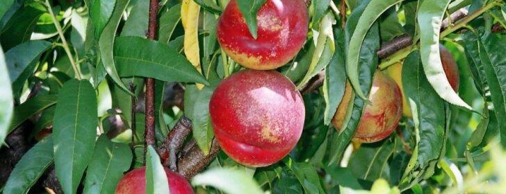Išsamūs patarimai, jei norite užsiauginti persikų ir nektarinų