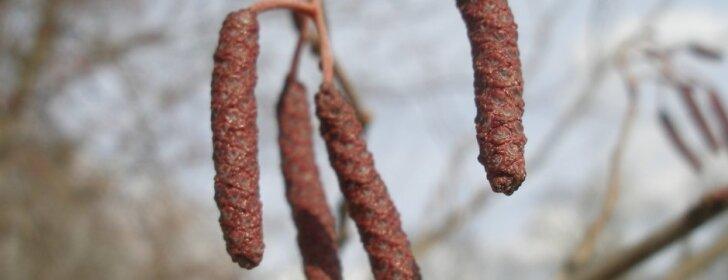 Dendrologė pataria: kokie augalai dažniausiai sukelia alergiją ir kaip to išvengti
