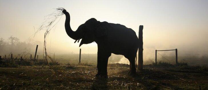 Internetą drebina jaudinantis vaizdelis: dramblys puolė gelbėti skęstančio vyro