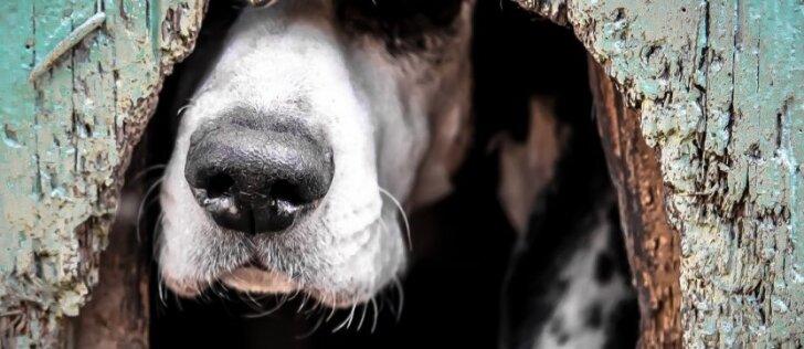 Prie būdos pririštą šunį nusitempė vilkas