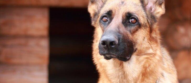 Šunų klubo sąnario displazija: kas tai per liga ir kaip ją gydyti?