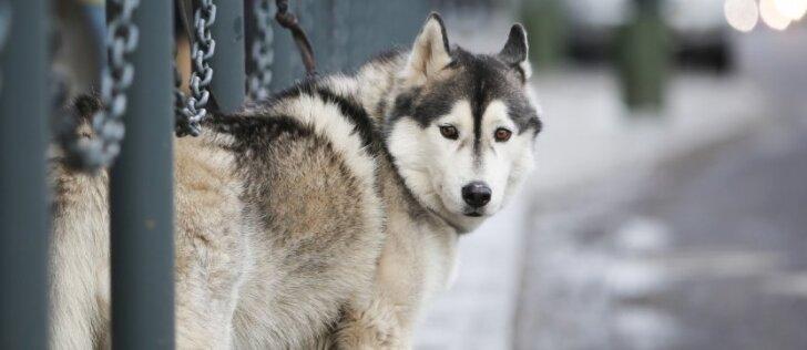 Patarimai, kaip šaltą dieną apsaugoti šuns pėdutes