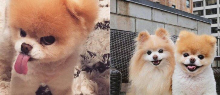 Gerbėjai atsisveikino su mieliausiu šunimi pasaulyje: prisiminkime gražiausias jo akimirkas