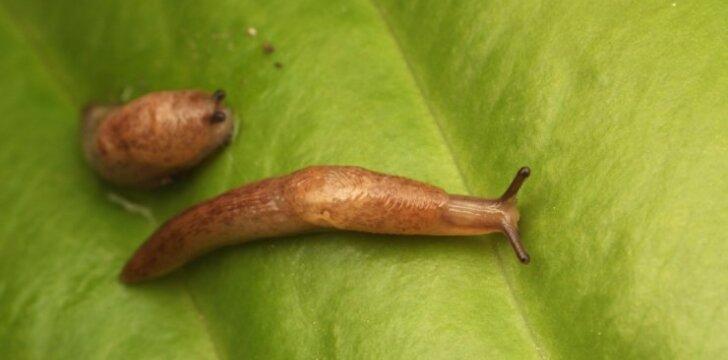 Daržus niokojantys šliužai: kaip duoti atkirtį