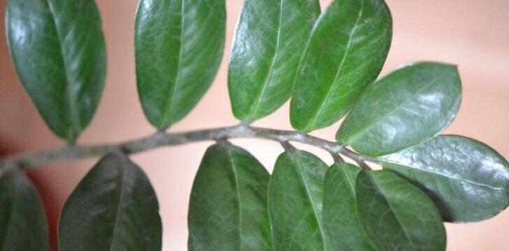 Šio augalo lapeliai yra blizgantys ir tamsiai žali, gal kažkiek ir primenantys pinigėlius.