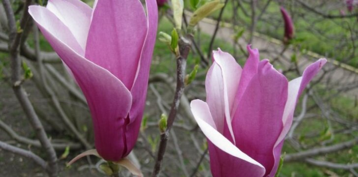 Lelijažiedė magnolija 'Nigra'.