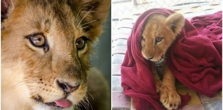 Išgelbėtas liūtukas turi keistą, tačiau labai mielą silpnybę