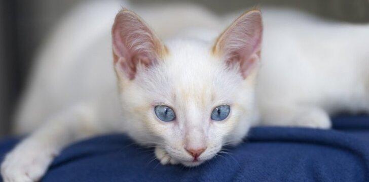 """Kodėl balti <span style=""""color: #c00000;"""">kačiukai</span> būna kurti"""