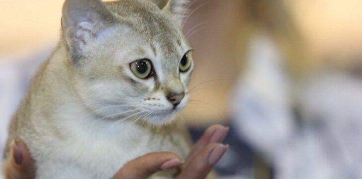 Singapūro katė