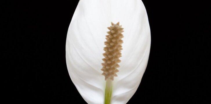 Taikos gėlė – nereiklioji vėzdūnė